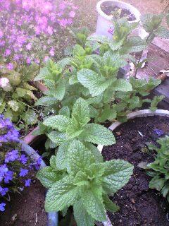 ミント・庭の植物