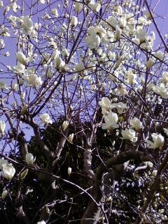 ハクレンの花