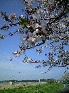 千葉県佐倉市、春のお花見
