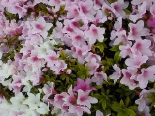 さつきの花びらの写真